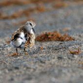 Biegus karłowaty, Least Sandpiper, Calidris minutilla, Flores, Azory, Portugalia, 19.10.2016 (3) (Azores, Portugal)