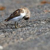 Biegus karłowaty, Least Sandpiper, Calidris minutilla, Flores, Azory, Portugalia, 19.10.2016 (4) (Azores, Portugal)
