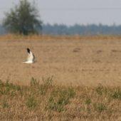 Błotniak stepowy, Pallid Harrier, Circus macrourus, Wrocław, DLN, 13.09.2015 (5) (Polska, Poland)