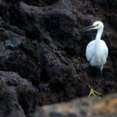Czapla śnieżna, Snowy Egret, Egretta thula, Flores, Azory, Portugalia, 19.10.2016 (1) (Azores, Portugal)