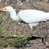 Czapla złotawa, Cattle Egret, Bubulcus ibis, Fuerteventura, 28.01.2016 (Wyspy Kanaryjskie, Hiszpania, Canary Islands, Spain)