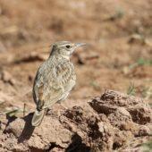 Dzierlatka długodzioba, Maghreb Lark, Galerida macrorhyncha, Ouarzazate, Maroko, 11.03.2016 (1) (Morocco)