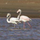 Flaming różowy, Greater Flamingo, Phoenicopterus roseus, Akhfennir, Maroko, 02.03.2016 (1) (Morocco)
