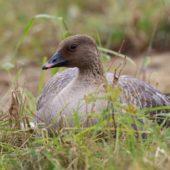 Gęś krótkodzioba, Pink-footed Goose, Anser brachyrhynchus, Zbiornik Przeczyce, SLK, 31.10.2016 (1) (Polska, Poland)