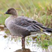 Gęś krótkodzioba, Pink-footed Goose, Anser brachyrhynchus, Zbiornik Przeczyce, SLK, 31.10.2016 (10) (Polska, Poland)