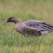 Gęś krótkodzioba, Pink-footed Goose, Anser brachyrhynchus, Zbiornik Przeczyce, SLK, 31.10.2016 (12) (Polska, Poland)