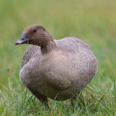 Gęś krótkodzioba, Pink-footed Goose, Anser brachyrhynchus, Zbiornik Przeczyce, SLK, 31.10.2016 (13) (Polska, Poland)