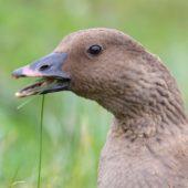 Gęś krótkodzioba, Pink-footed Goose, Anser brachyrhynchus, Zbiornik Przeczyce, SLK, 31.10.2016 (16) (Polska, Poland)