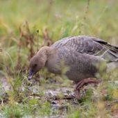 Gęś krótkodzioba, Pink-footed Goose, Anser brachyrhynchus, Zbiornik Przeczyce, SLK, 31.10.2016 (2) (Polska, Poland)