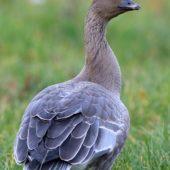 Gęś krótkodzioba, Pink-footed Goose, Anser brachyrhynchus, Zbiornik Przeczyce, SLK, 31.10.2016 (3) (Polska, Poland)