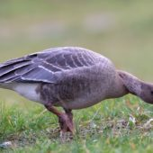 Gęś krótkodzioba, Pink-footed Goose, Anser brachyrhynchus, Zbiornik Przeczyce, SLK, 31.10.2016 (4) (Polska, Poland)