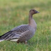 Gęś krótkodzioba, Pink-footed Goose, Anser brachyrhynchus, Zbiornik Przeczyce, SLK, 31.10.2016 (5) (Polska, Poland)