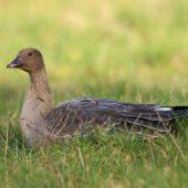 Gęś krótkodzioba, Pink-footed Goose, Anser brachyrhynchus, Zbiornik Przeczyce, SLK, 31.10.2016 (6) (Polska, Poland)