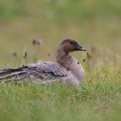 Gęś krótkodzioba, Pink-footed Goose, Anser brachyrhynchus, Zbiornik Przeczyce, SLK, 31.10.2016 (7) (Polska, Poland)