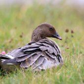 Gęś krótkodzioba, Pink-footed Goose, Anser brachyrhynchus, Zbiornik Przeczyce, SLK, 31.10.2016 (8) (Polska, Poland)