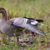 Gęś krótkodzioba, Pink-footed Goose, Anser brachyrhynchus, Zbiornik Przeczyce, SLK, 31.10.2016 (9) (Polska, Poland)