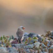 Gilak pustynny, Trumpeter Finch, Bucanetes githagineus, Fuerteventura, 28.01.2016 (4) (Wyspy Kanaryjskie, Hiszpania, Canary Islands, Spain)