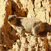 Góralek przylądkowy,Rock Hyrax, Procavia capensis, Wadi Salvadore, Izrael, 09.04.2014 (Israel)