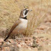 Górniczek mały, Temminck's Lark, Eremophila bilopha, Dakhla-Aousserd, Sahara Zachodnia, 04.03.2016 (1) (Western Sahara)