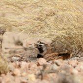 Górniczek mały, Temminck's Lark, Eremophila bilopha, Dakhla-Aousserd, Sahara Zachodnia, 04.03.2016 (2) (Western Sahara)