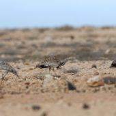 Hubara saharyjska, Houbara Bustard, Chlamydotis undulata fuertaventurae, Fuerteventura, 29.01.2016 (5) (Wyspy Kanaryjskie, Hiszpania, Canary Islands, Spain)