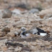 Hubara saharyjska, Houbara Bustard, Chlamydotis undulata fuertaventurae, Fuerteventura, 29.01.2016 (7) (Wyspy Kanaryjskie, Hiszpania, Canary Islands, Spain)