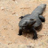Jaszczurka Sahara Zachodnia 1
