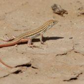 Jaszczurka Sahara Zachodnia 2