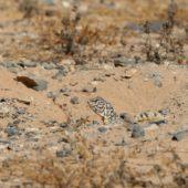 Jaszczurka Sahara Zachodnia 3