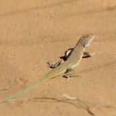 Jaszczurka Sahara Zachodnia 4