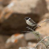 Kląskawka kanaryjska, Fuerteventura Chat, Saxicola dacotiae, Fuerteventura, 27.01.2016 (1) (Wyspy Kanaryjskie, Hiszpania, Canary Islands, Spain)