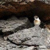 Kląskawka kanaryjska, Fuerteventura Chat, Saxicola dacotiae, Fuerteventura, 27.01.2016 (4)(Wyspy Kanaryjskie, Hiszpania, Canary Islands, Spain)