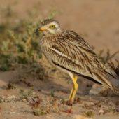 Kulon, Stone-curlew, Burhinus oedicnemus, Gleib Jidade, Sahara Zachodnia, 04.03.2016 (2) (Western Sahara)