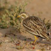 Kulon, Stone-curlew, Burhinus oedicnemus, Gleib Jidade, Sahara Zachodnia, 04.03.2016 (3) (Western Sahara)