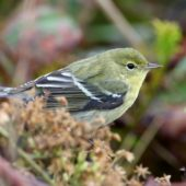 Lasówka czarnogłowa, Blackpoll Warbler, Dendroica striata, Corvo, Azory, Portugalia, 18.0.2015 (5) (Azores, Portugal)