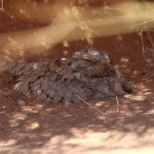 Lelek egipski, Egyptian Nightjar, Caprimulgus aegyptius, Rissani, Maroko, 10.03.2016 (3) (Morocco)