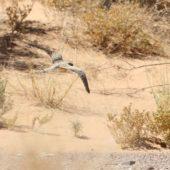 Lelek egipski, Egyptian Nightjar, Caprimulgus aegyptius, Rissani, Maroko, 10.03.2016 (4) (Morocco)