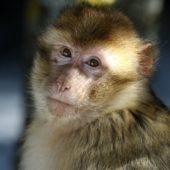 Makak berberyjski, Barbary macaque, Macaca sylvanus, Ifrane, Maroko, 09.03.2016 (1) (Morocco)