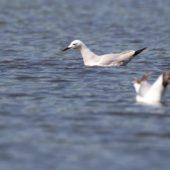 Mewa cienkodzioba, Slender-billed Gull, Chroicocephalus genei, Zbiornik Przeczyce, SLK, 24.05.2016 (3) (Polska, Poland)