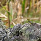 Piranga szkarłatna, Scarlet Tanager, Piranga olivacea, Corvo, Azory, Portugalia, 13.10.2016 (5) (Azores, Portugal)
