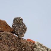 Pójdźka, Little Owl, Athene noctua, Lizbona, Portugalia, 13.10.2015 (Lisbon, Portugal)