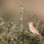 Pokrzewka saharyjska, African Desert Warbler, Sylvia deserti, Dakhla-Aousserd, Sahara Zachodnia, 05.03.2016 (5) (Western Sahara)
