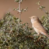 Pokrzewka saharyjska, African Desert Warbler, Sylvia deserti, Dakhla-Aousserd, Sahara Zachodnia, 05.03.2016 (4) (Western Sahara)
