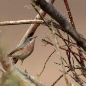 Pokrzewka wąsata (uboga), Subalpine Warbler, Sylvia cantillans (inornata), Guelmim, Maroko, 02.03.2016 (1) (Morocco)
