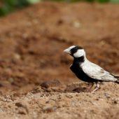 Pustynka białoczelna, Black-crowned Sparrow-lark, Eremopterix nigriceps, Aousserd, Sahara Zachodnia, 05.03.2016 (1) (Western Sahara)