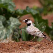 Pustynka białoczelna, Black-crowned Sparrow-lark, Eremopterix nigriceps, Aousserd, Sahara Zachodnia, 05.03.2016 (2) (Western Sahara)