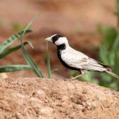 Pustynka białoczelna, Black-crowned Sparrow-lark, Eremopterix nigriceps, Aousserd, Sahara Zachodnia, 05.03.2016 (3) (Western Sahara)