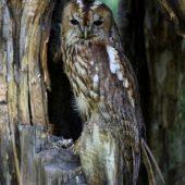 Puszczyk, Tawny Owl, Strix aluco, gm. Bobrowniki, SLK, 01.09.2016 (1) (Polska, Poland)
