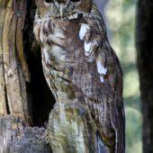Puszczyk, Tawny Owl, Strix aluco, gm. Bobrowniki, SLK, 01.09.2016 (2) (Polska, Poland)