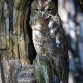 Puszczyk, Tawny Owl, Strix aluco, gm. Bobrowniki, SLK, 01.09.2016 (3) (Polska, Poland)